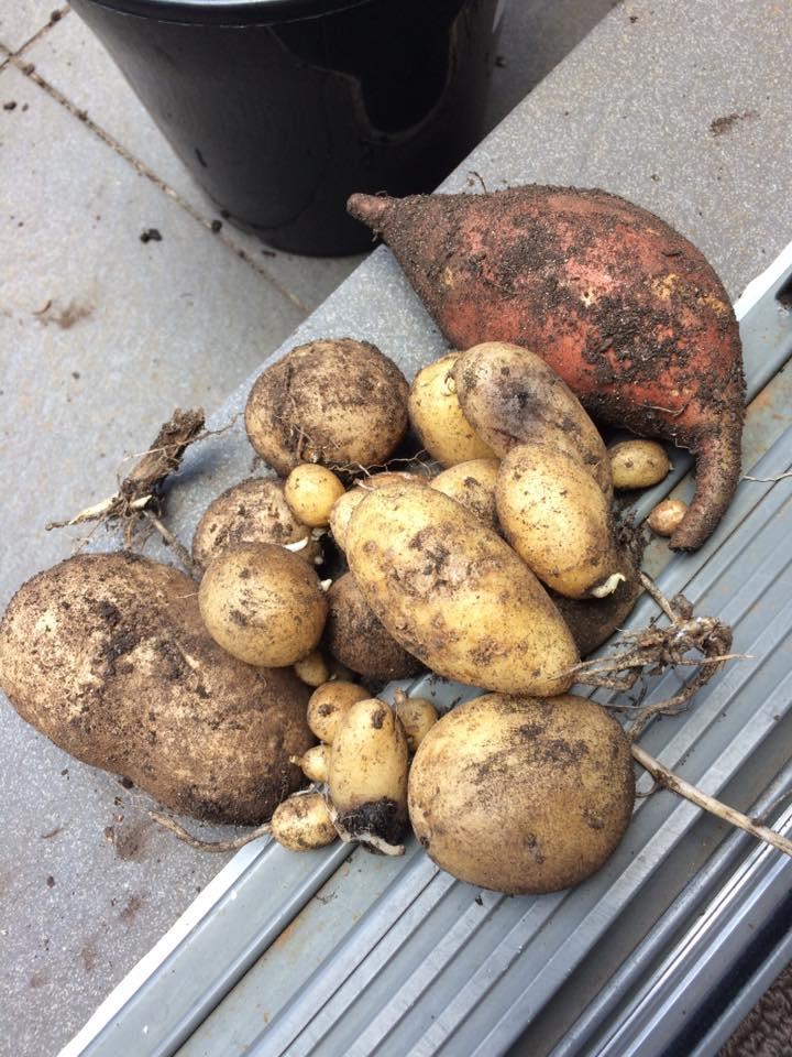 Bokashi-Potato